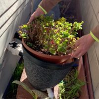 Greywater distribution to an existing drought tolerant landscape using the Aquifer Pipe